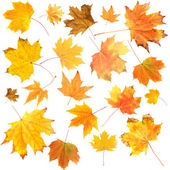 Beautiful colored autumn leaves isolated on white