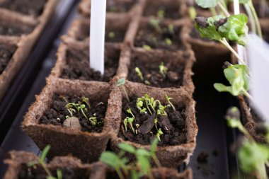 Young seedlings in tray on window sill