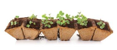 Seedlings of radish
