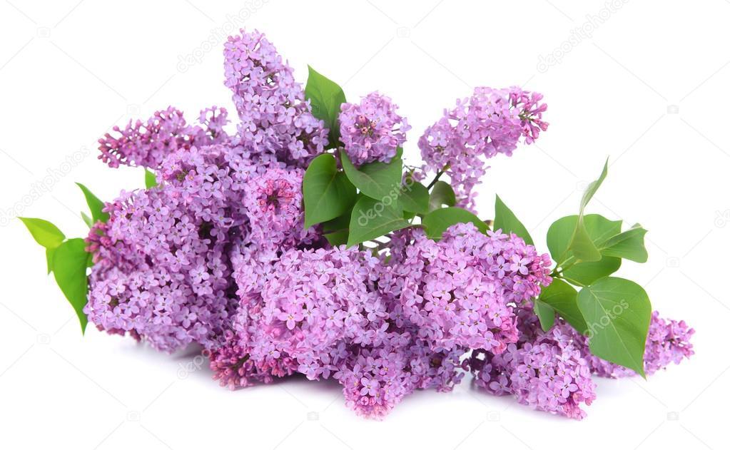 schöne lila Blumen isoliert auf weiss — Stockfoto © belchonock #47554987