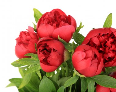 Beautiful pink peonies, isolated on white