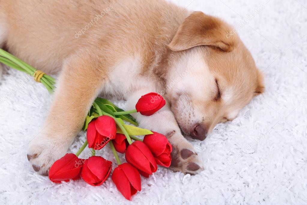 Little cute Golden Retriever puppy with red tulips