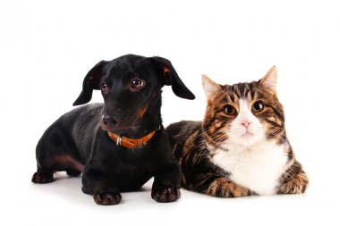 Little dachshund dog and cat isolated on white
