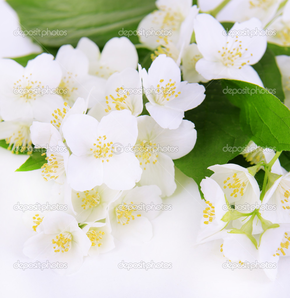 Beautiful Jasmine Flowers Stock Photo Belchonock 49763451