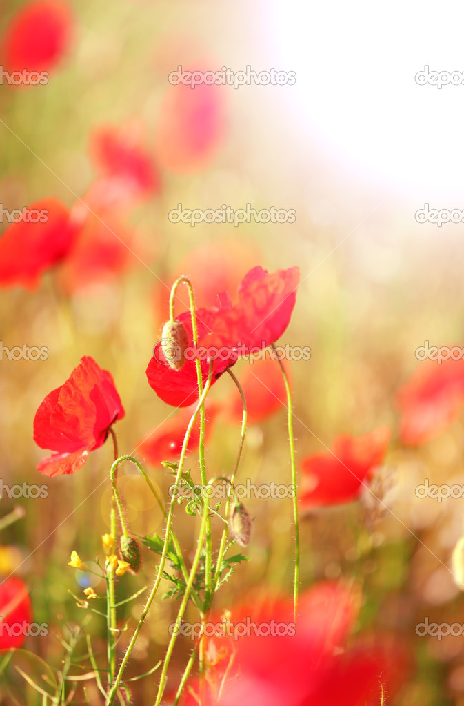 Meadow with red poppy flowers
