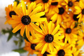 Beautiful Rudbeckia flowers