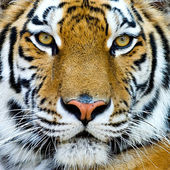 Beautiful tiger cub closeup look formidable