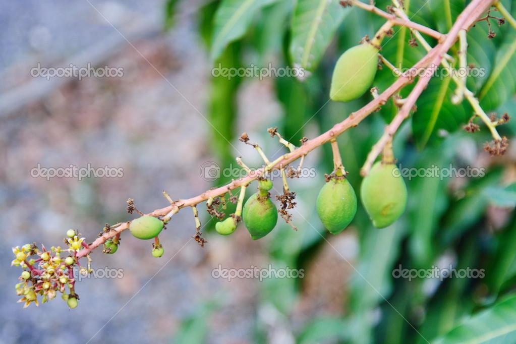 Close up of mangoes