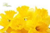 Fotografie Yellow daffodils