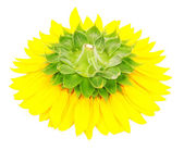 Fotografie slunečnice close-up