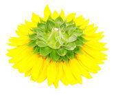slunečnice close-up