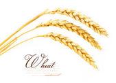 klásky pšenice
