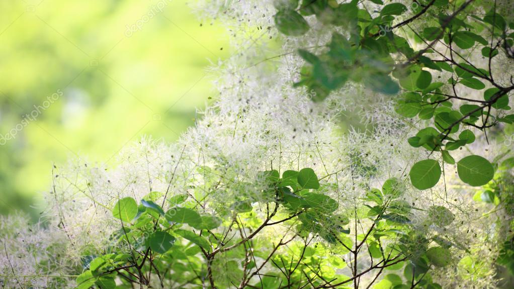 Скумпия цветок фото