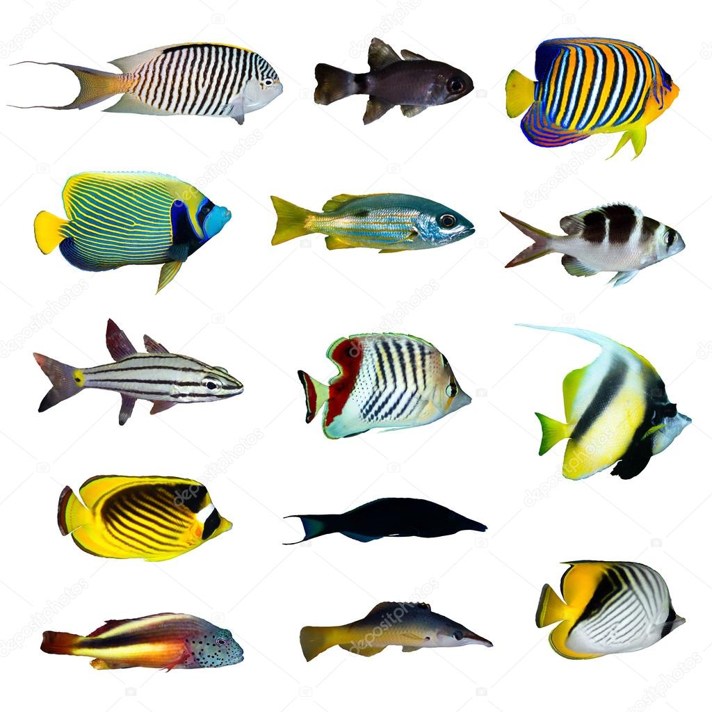 Collection de poissons tropicaux photographie sserg for Poisson tropicaux