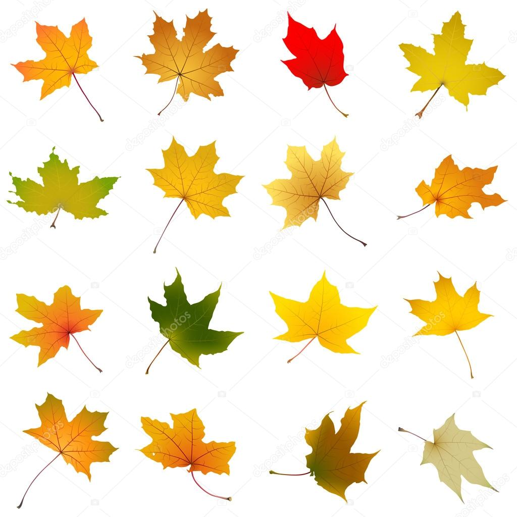 Maple autumn leaves collection