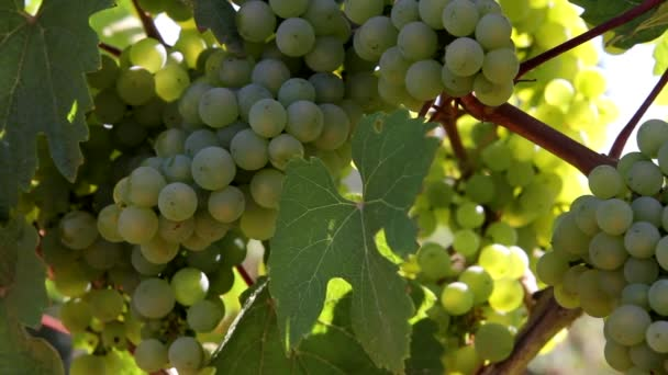 Closeup of Winery Grapevines with bunch of Grapes