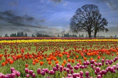 Tulips Blooming in Spring Season