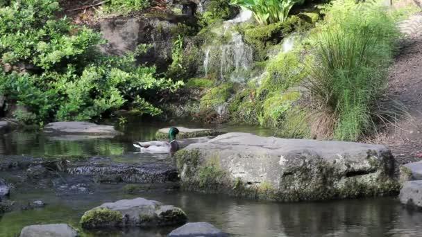 vodopád s rostlinami, stromy a pár kachen, koupání v bazénu vodou jarní sezóny 1080p