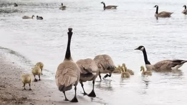 Families of Canada Geese and Goslings Swimming and Feeding on Sandy Beach along Willamette River in Lake Oswego Oregon