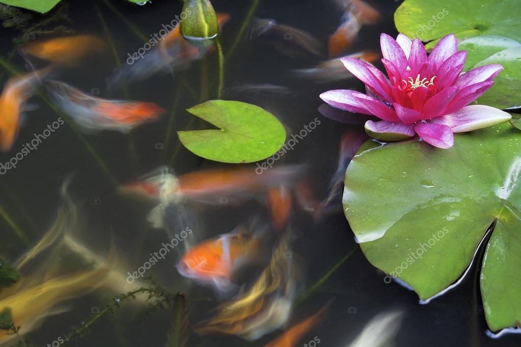 Pesce koi nel laghetto con ninfee foto stock for Laghetto con ninfee