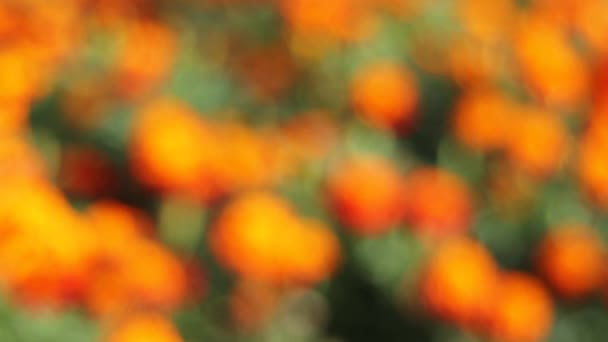 Out of Focus Bokeh of Golden Bushy Clusters of Blooming Marigold Plants in Garden 1080p