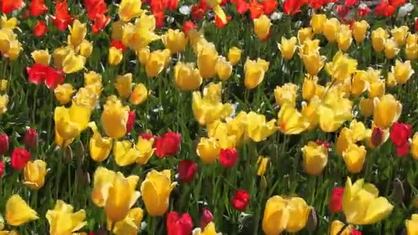 Colorful Yellow and Red Tulips in Woodburn Oregon Swaying in the Wind on a Breezy Spring Season Day 1080p