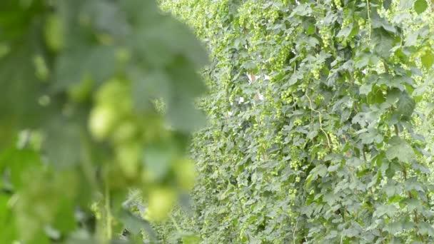 chmelnice v vegetace