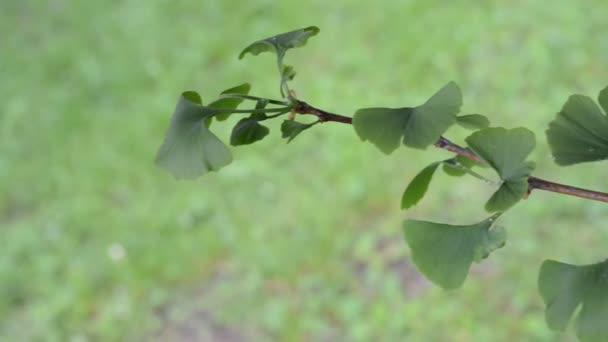 A little tree of ginkgo