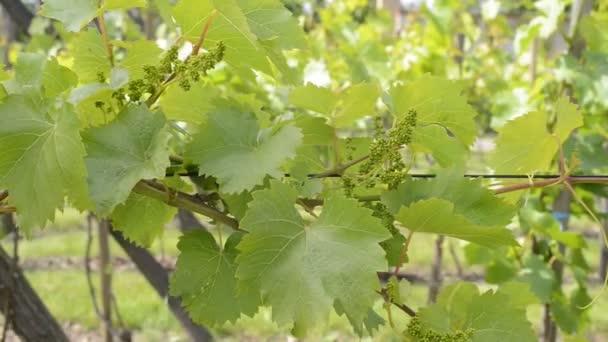 vinice na jaře