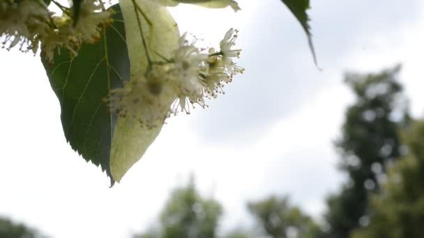detail linden květy