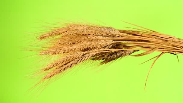 farmář zkontrolovat snop pšenice