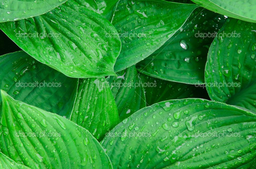 Sfondo Verde Foglie Bagnate Foto Stock Atesevich 16249547