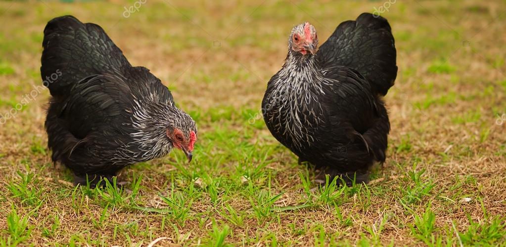 Live Animals free range chicken bantam hens