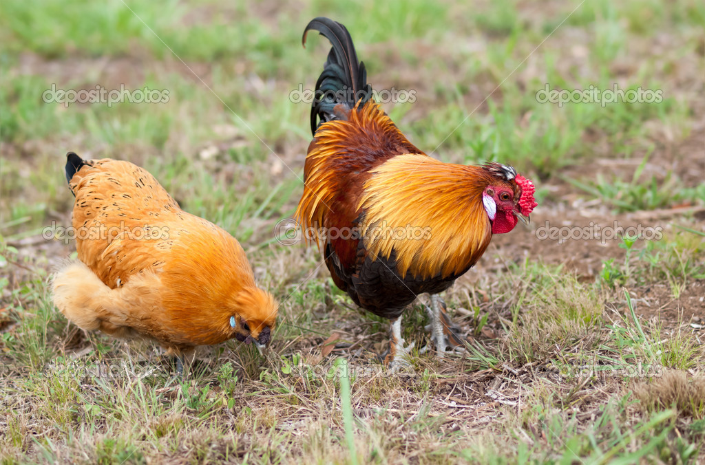 Pair Of Two Bantam Chickens Forage For Food Stock Photo Sherjaca
