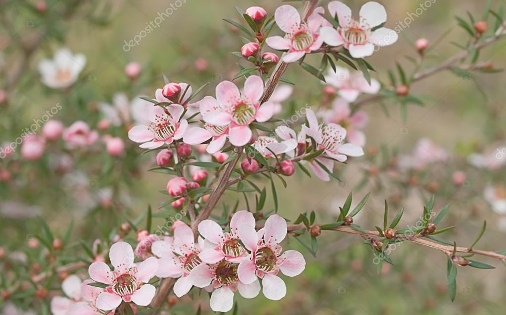 Beautiful pink flowers of Leptospernum Australian native spring wildflower