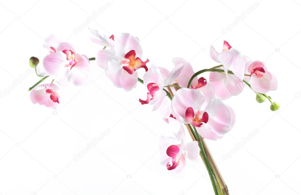 Pink Orchid Flowers Isolated On White Background Royalty Free ...