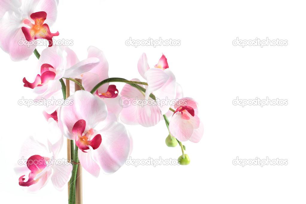 orchid e rose blanche isol e sur fond blanc photographie romanovatatjana 35309135. Black Bedroom Furniture Sets. Home Design Ideas