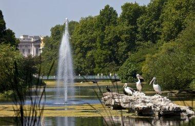 Pelicans in St. James's Park