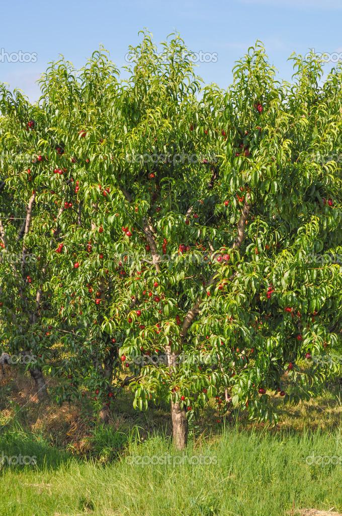 Albero da frutto di prunus foto stock scrisman 49434371 for Albero da frutto nano