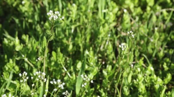 bílé divoké květy na jaře