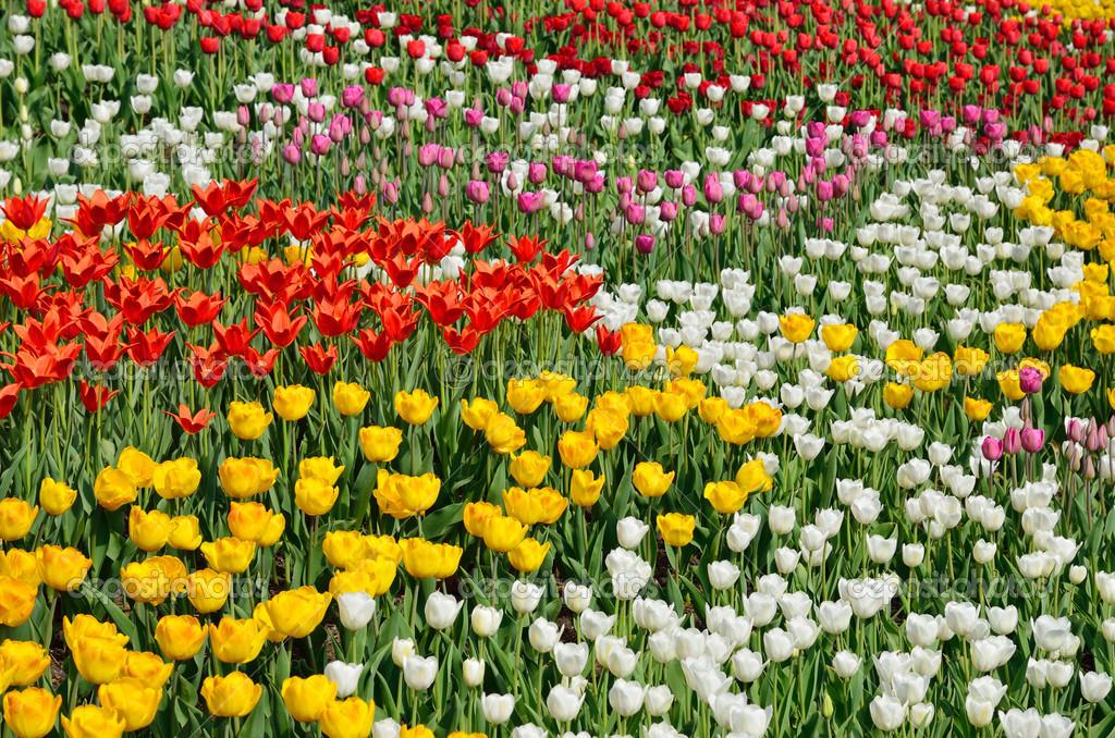 Aiuole fiorite di vari tulipani foto stock olegmit for Aiuole fiorite immagini