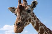 zvědavý žirafa