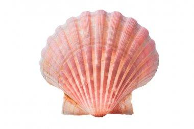 Scallops shell