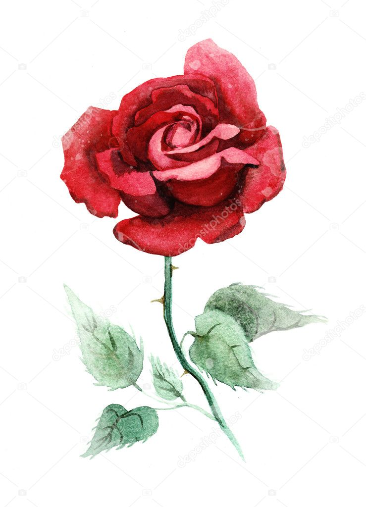 watercolor deep red rose   u2014 stock photo  u00a9 fearsonline  33651421