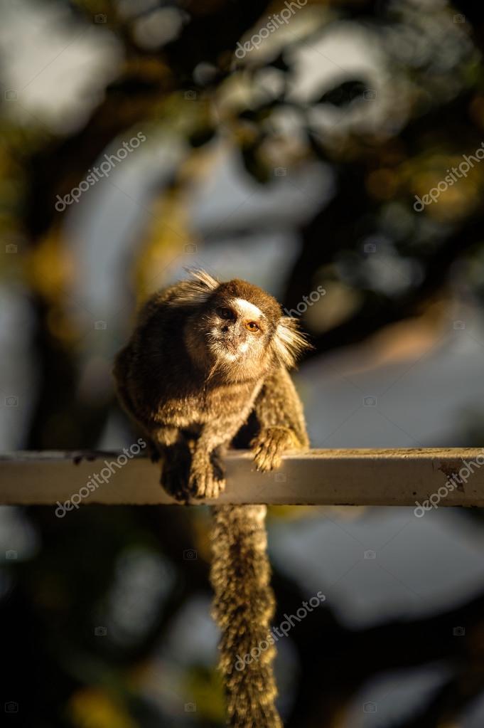 Sagui Monkey
