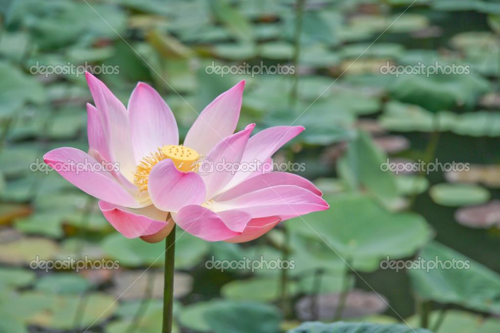 de lotus rose ou de fleurs de lis d'eau qui fleurit sur l'étang