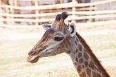 portrét zvědavý žirafa