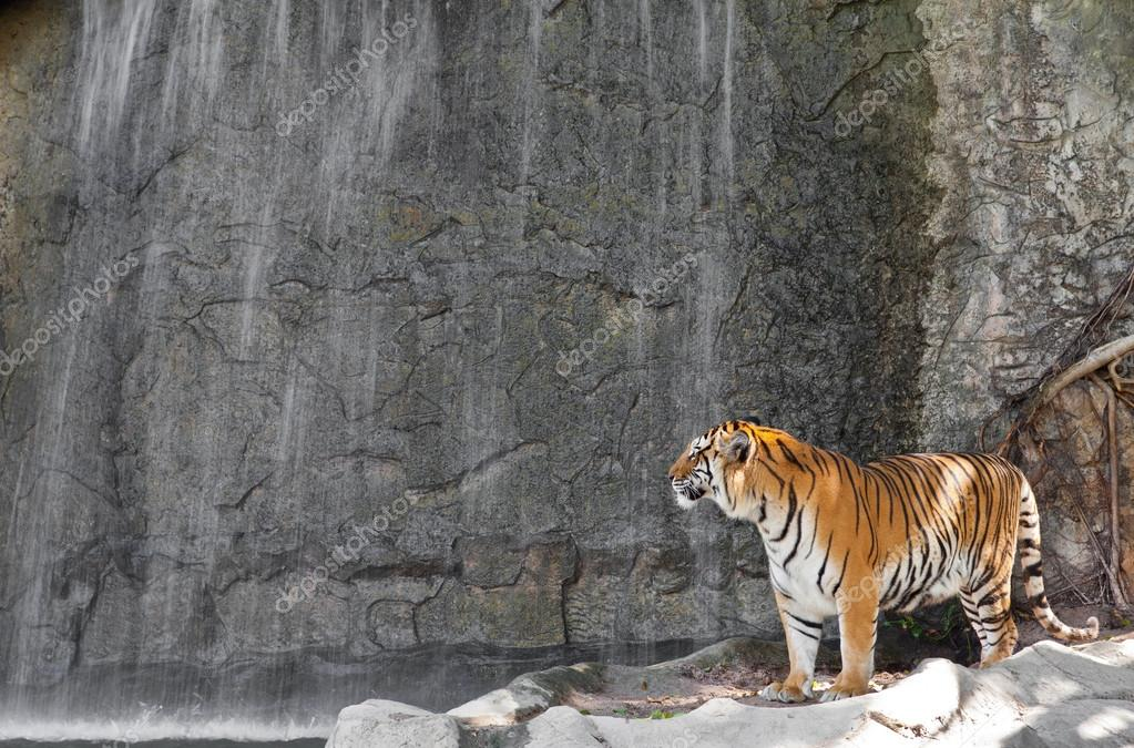 Siberian Tiger in front of the waterfall in a zoo
