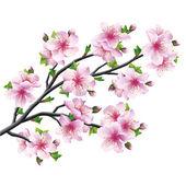 Japonská sakura, třešňového květu izolované