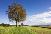 Autumn tree in green field rural landscape